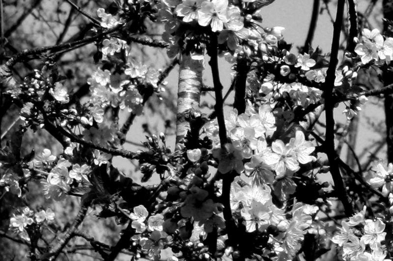 The cherry tree.