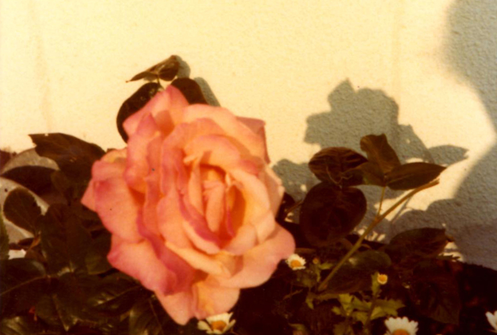 A rose in my mothers garden.