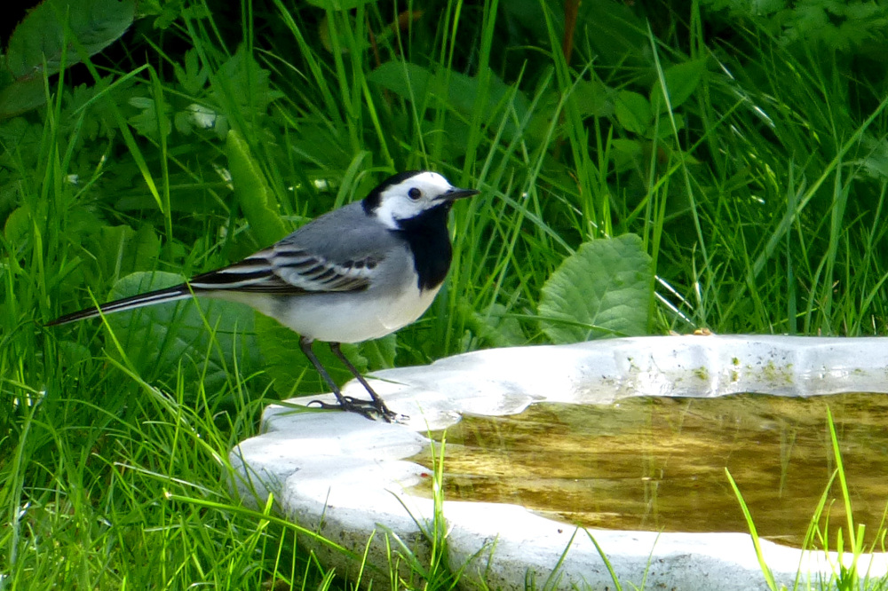 White wagtail - 1/3.