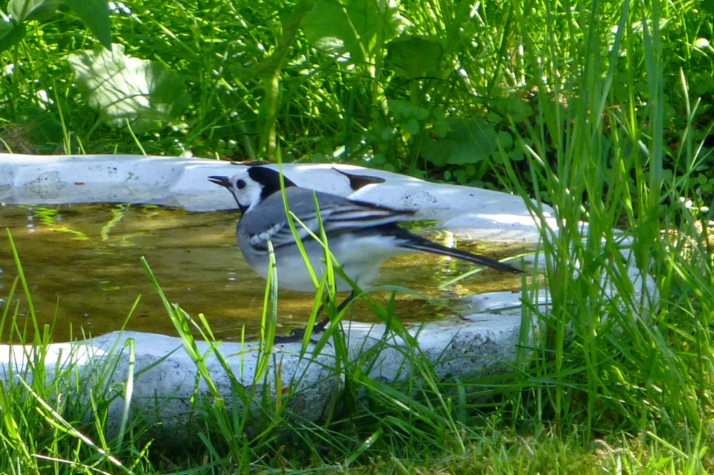 White wagtail - 2/3.