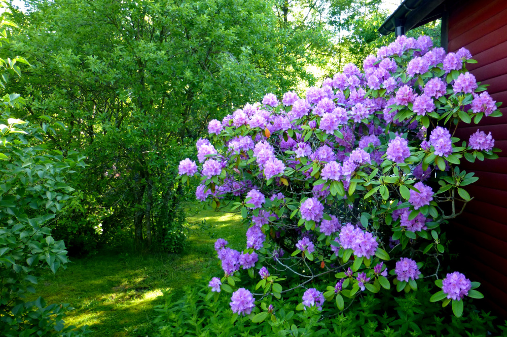 Rhododendron in the morning.