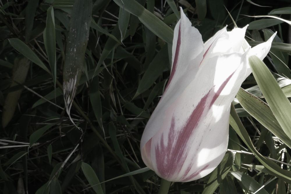 A tulip.
