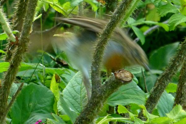 Erithacus rubecula - 6/6. Bye, bye!