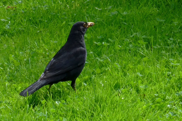 The national bird of Sweden - common blackbird.