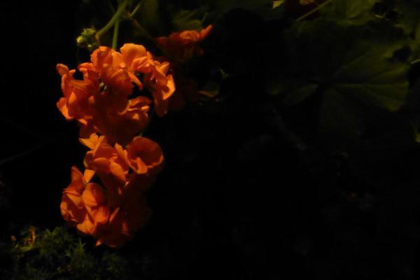 Pelargonium.