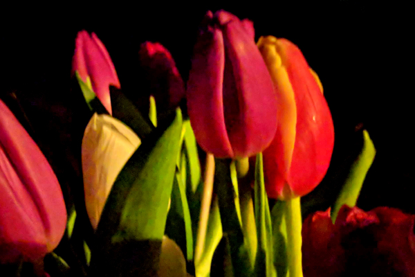 Tulips in the evening.