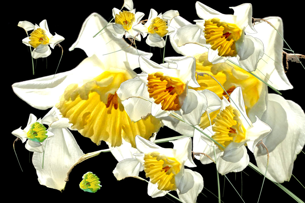 Narcissus.