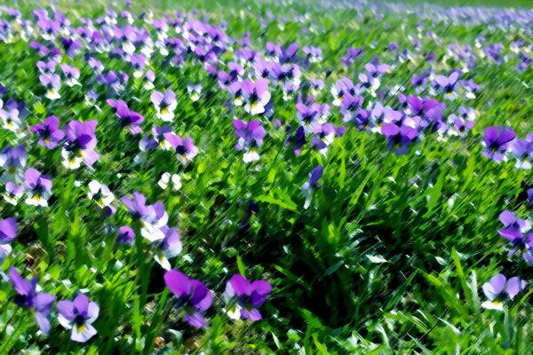 Violets.