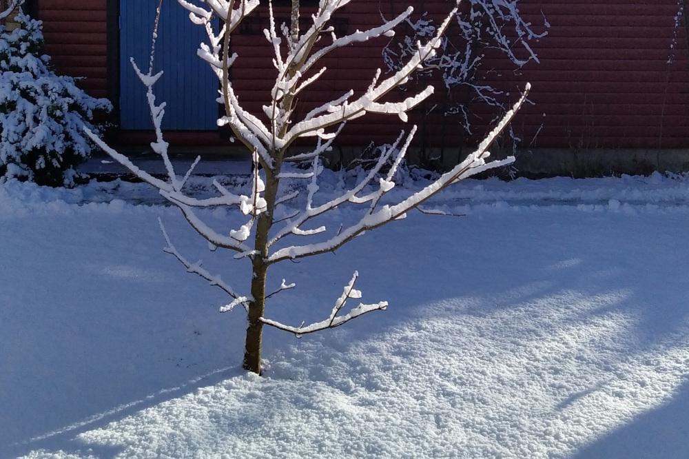 Maple in winter garb.