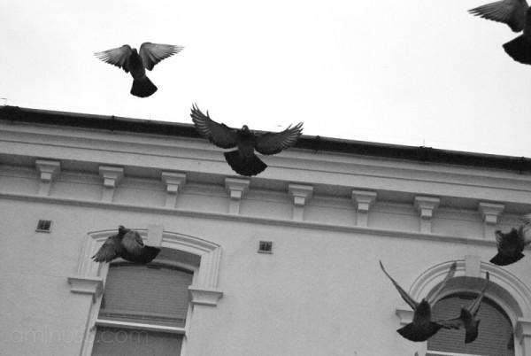 Pigeons taking flight