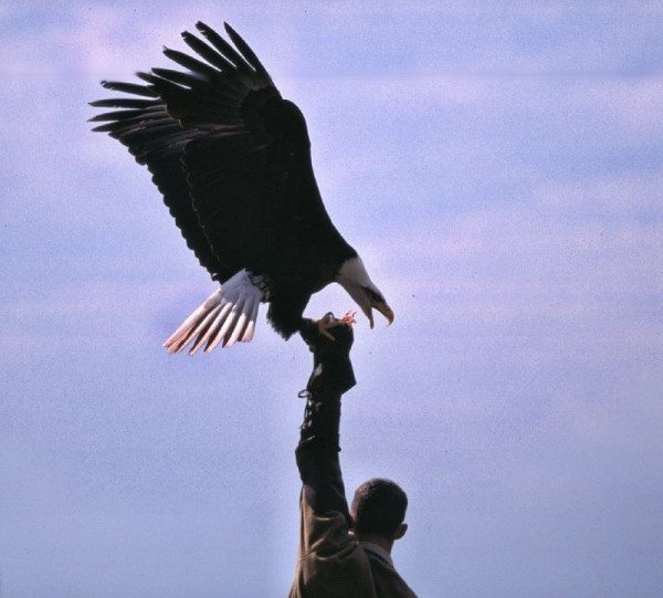 bald eagle with handler