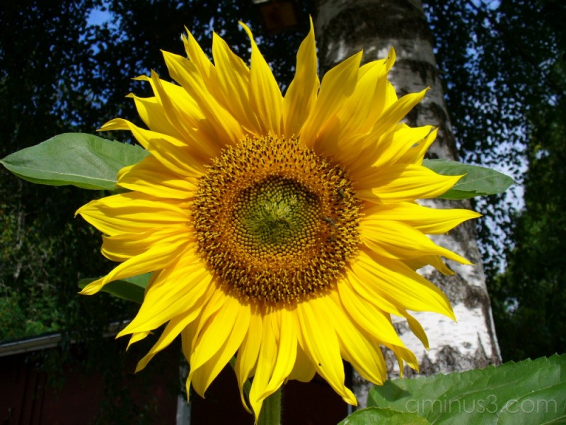 Sunflower / Solros