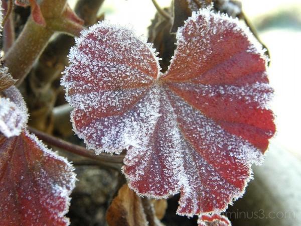 Ice Flower / Isblomma