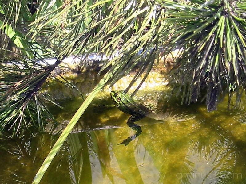 Frog / Groda