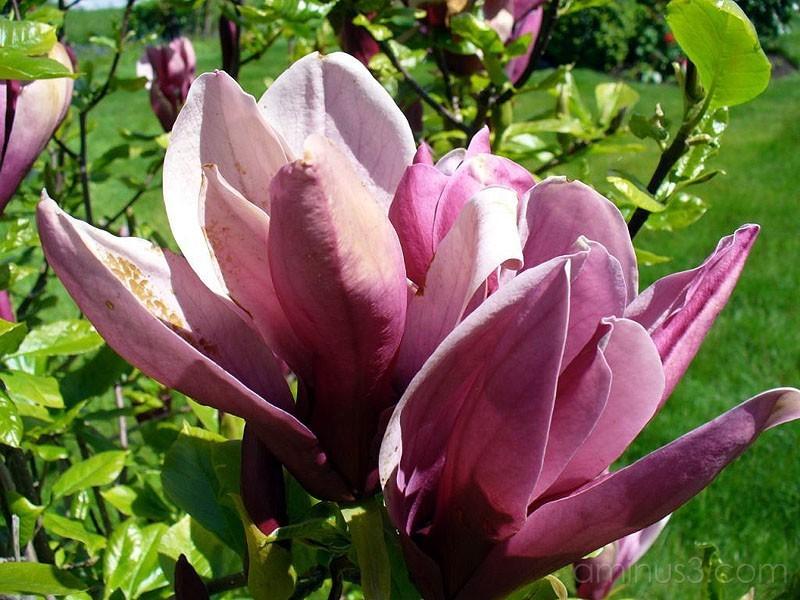 Dark Magnolia / Mörk magnolia