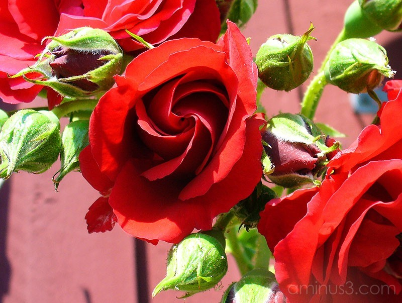 The Rose / Rosen