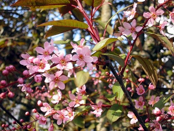 Pink cherry blossom /Rosa körsbärsblom