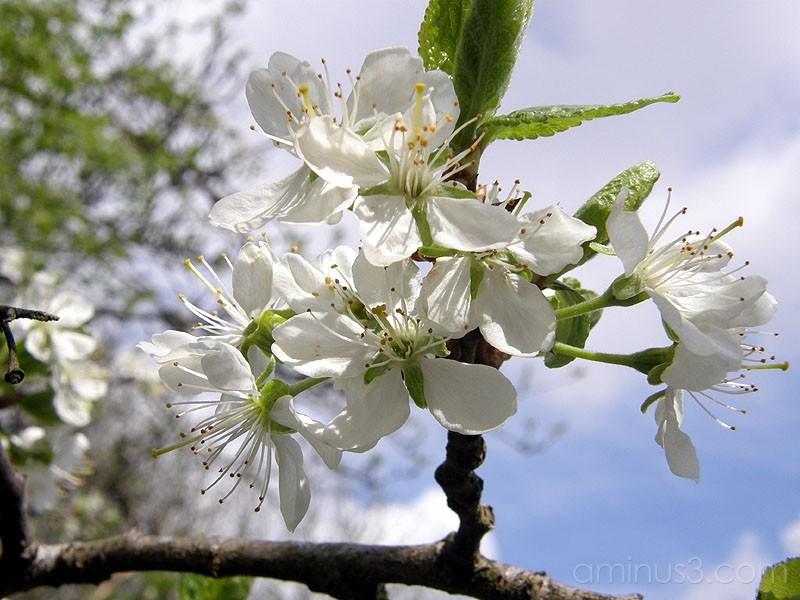 Plum blossoms / Plommonblom