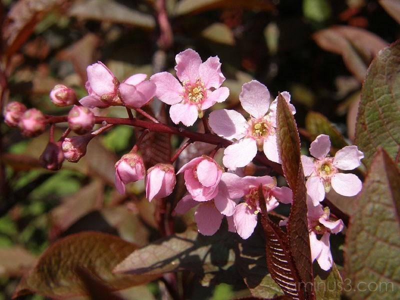 Pink blossoms / Rosa blommor