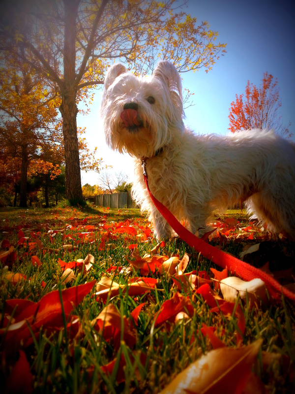 westie, west highland terrier, fall