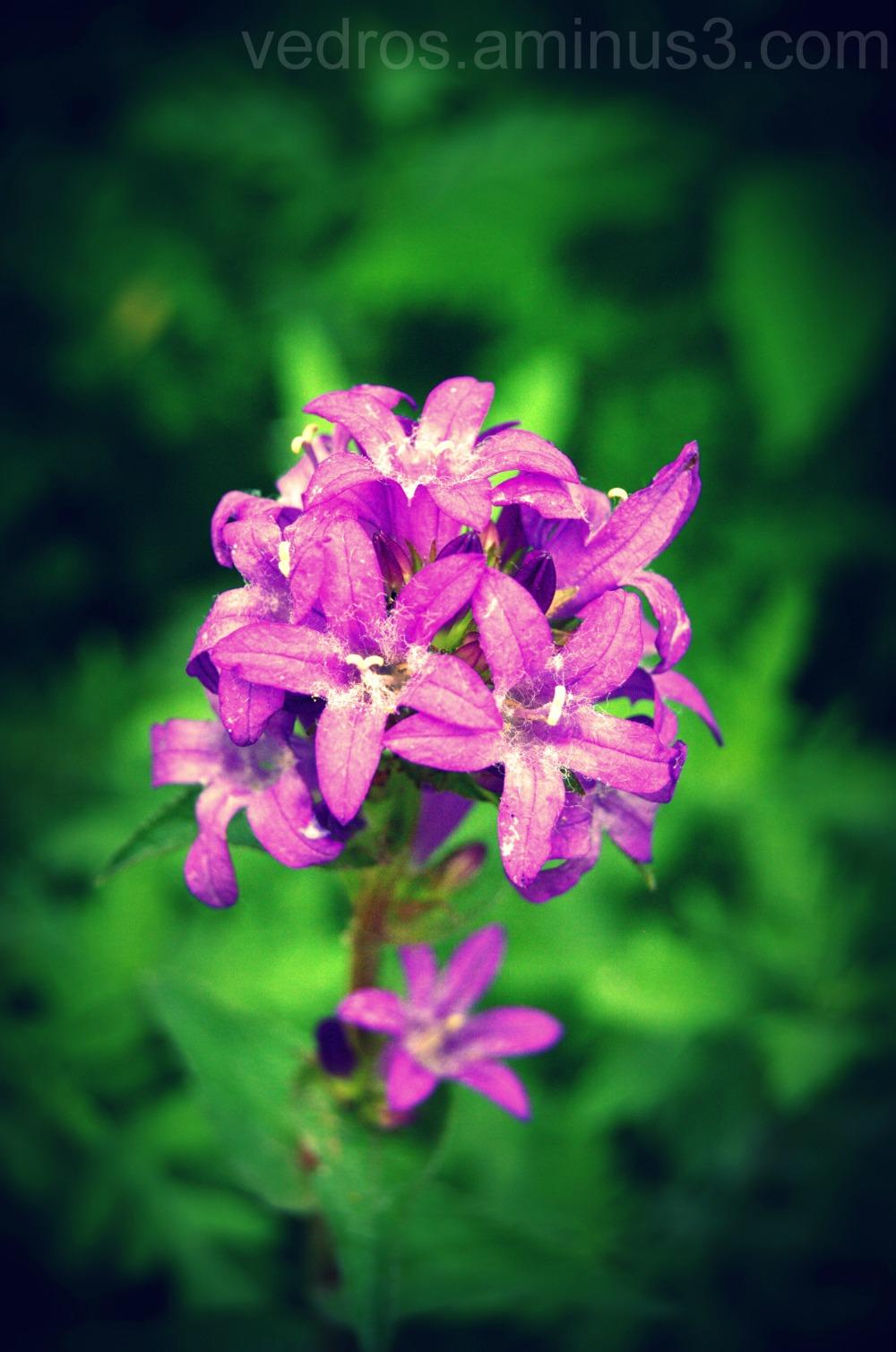 purple, flower, hudson gardens