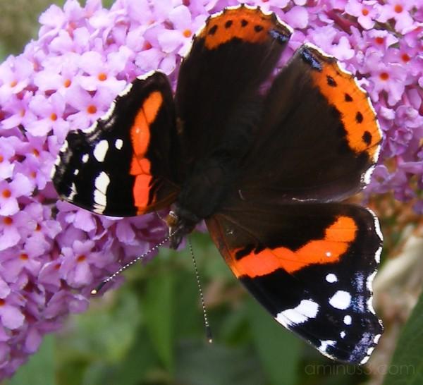 Butterfly buddleia