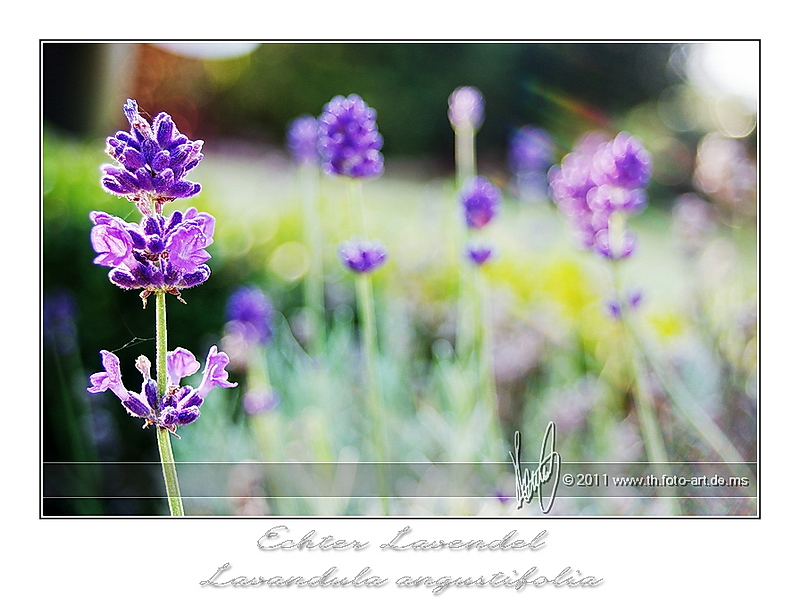 Lavendel #2
