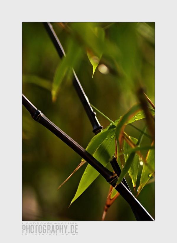 bamboo II