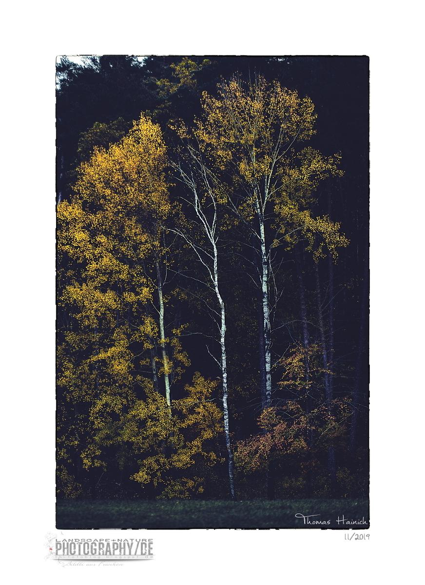Three birches in autumn light