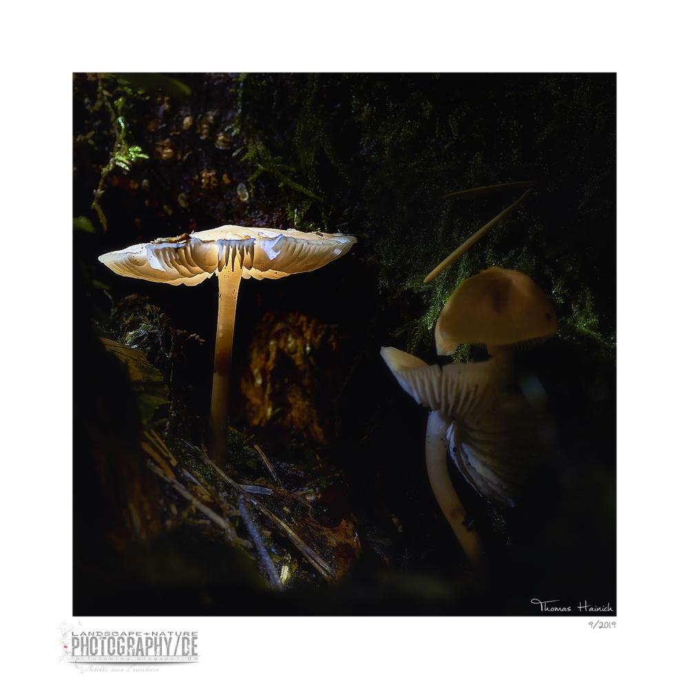 Der leuchtend Pilz