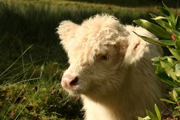 Posing Highland Cow