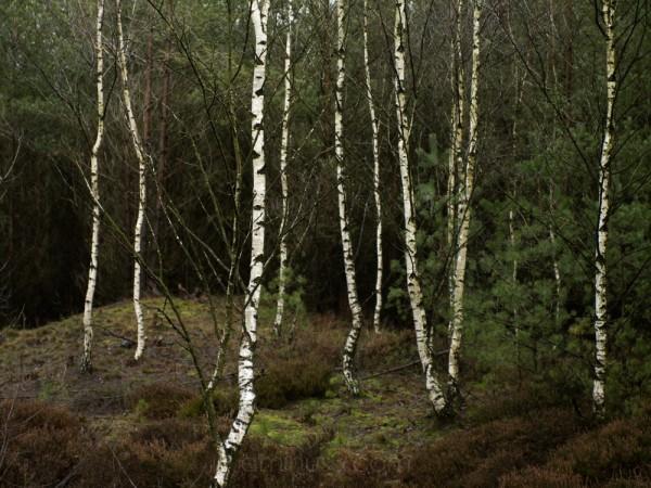 gloomy birches