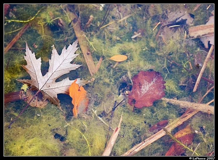 Autumn Pond Leaf Water seaweed