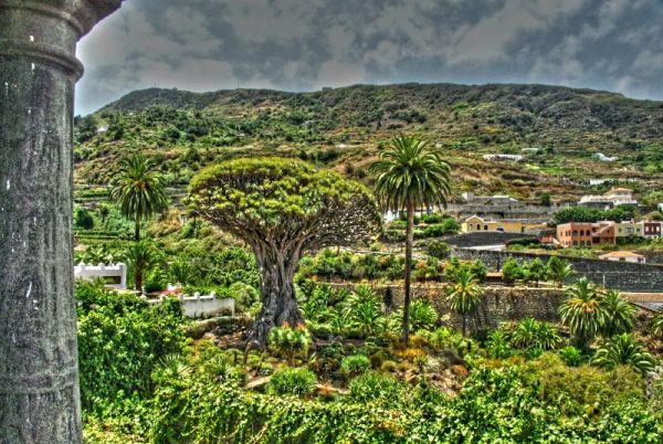 Tenerife landscape paysage dragonnier