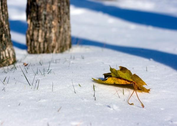 Feuille sur neige 2