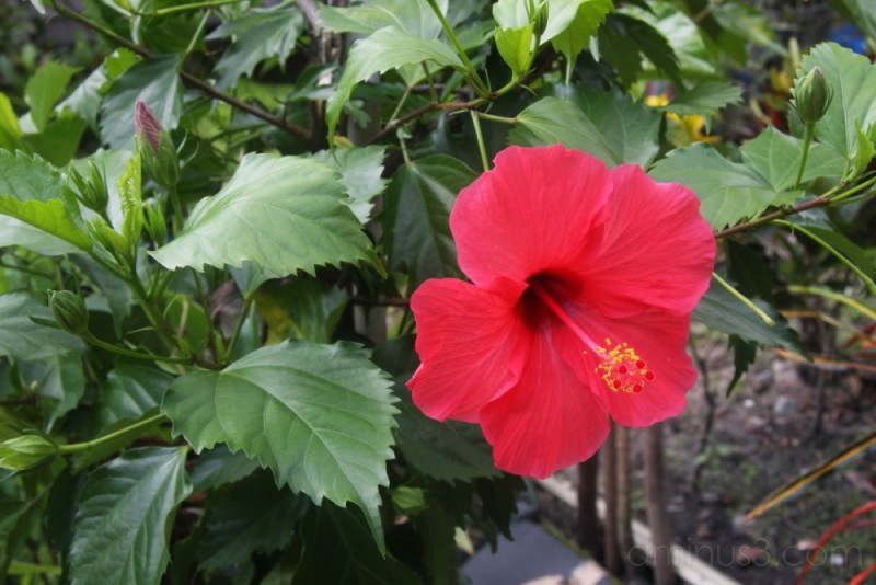 bunga raya