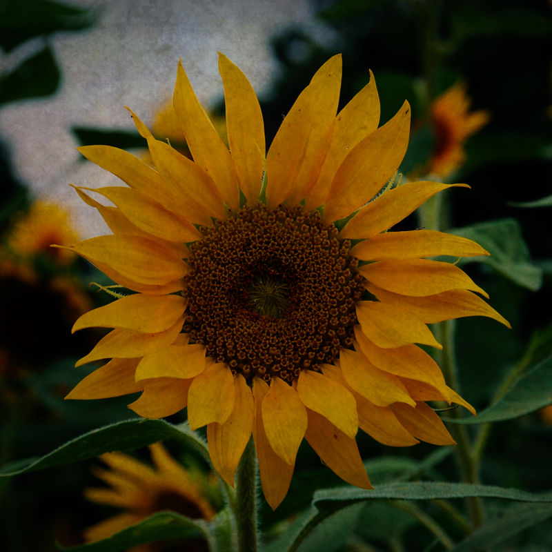 Sunflower with Texture