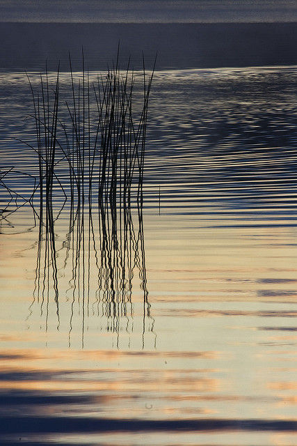 Reeds in Reflection