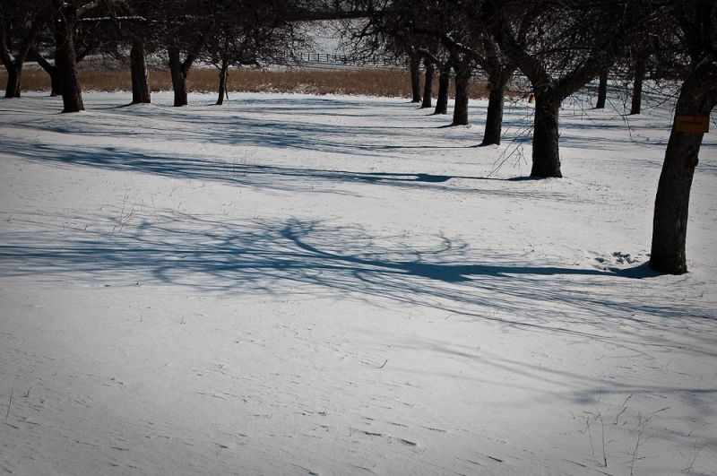 Orchard in Snow