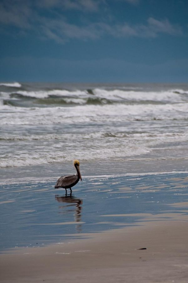 Pelican in the surf