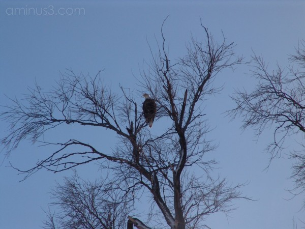 Eagle sitting in tree
