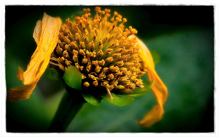 old yellow flower