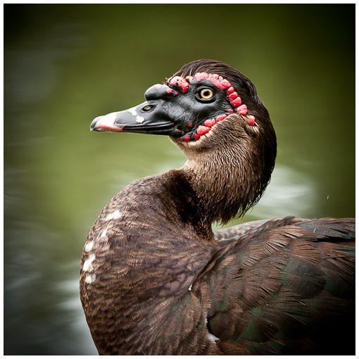 ducks in deland ii