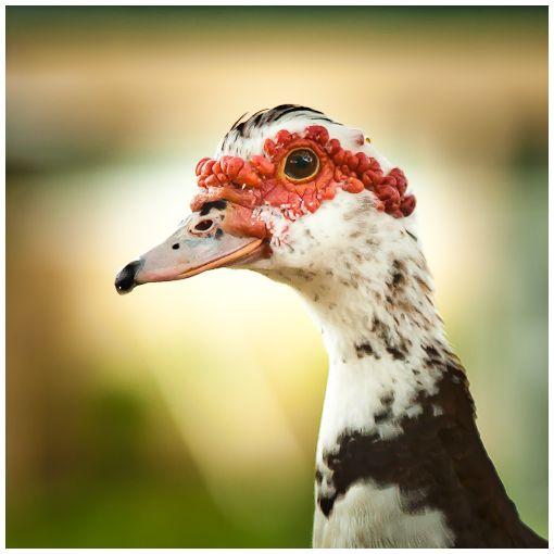 ducks in deland iv