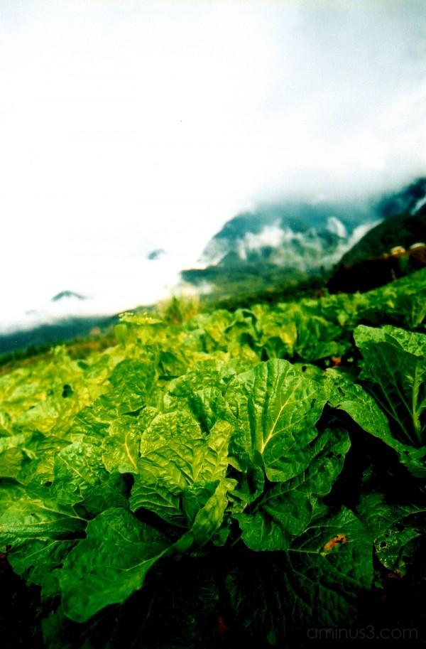 Cabbage Patch Mesilau Kota Kinabalu Sabah Malaysia