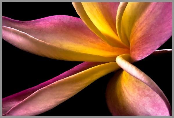 plumeria bloom macro