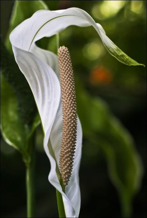 white flourish