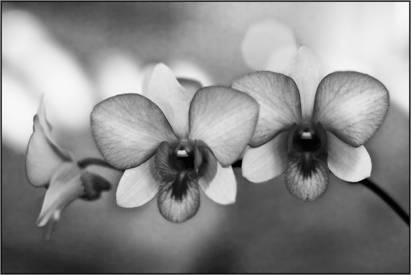 orchids III - black and white version