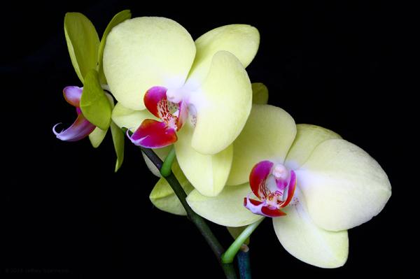 """orchid """"au naturel"""""""