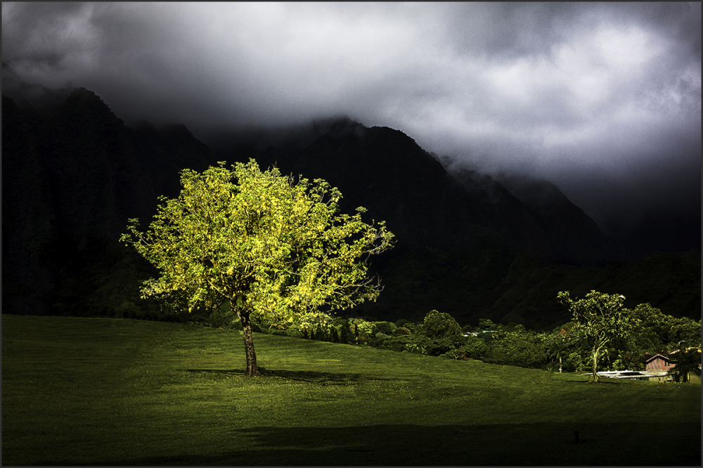 lone tree near the ko'olau mountain range